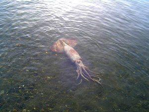 calamar2