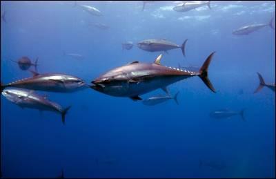 Atunes rojos en Malta, en junio del año pasado. - OCEANA/Keith Ellenbogen